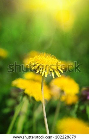 Field of dandelion and perfect sunny day - stock photo