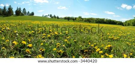 field of dandelion in summer day - stock photo