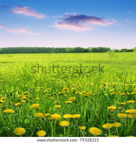 Field of dandelions and bright sunset sky. - stock photo