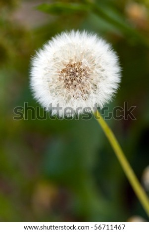 Field of dandelions, and sun. - stock photo