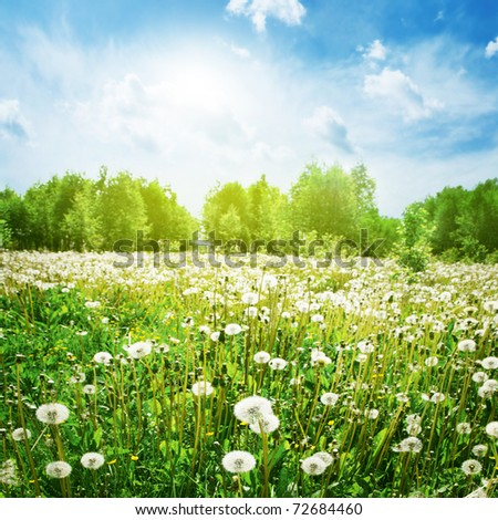 Field of dandelions,blue sky and sun. - stock photo