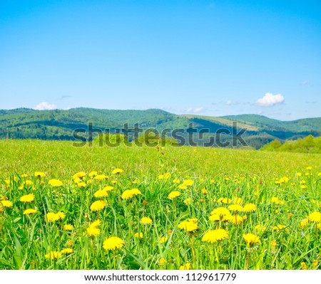 Field of dandelions in the mountains - stock photo