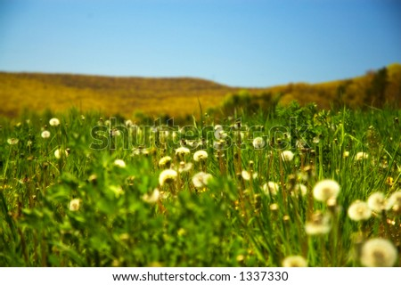 Field of dandelions with blue sky with extremely shallow DoF.