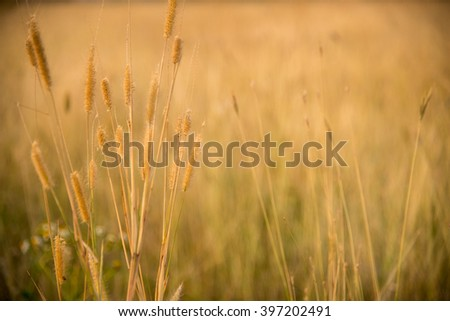 Field of dried grass