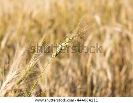 Field of Dry Golden Wheat. Harvest Concept - stock photo
