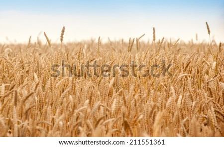 Field of Dry Golden Wheat in summer - stock photo