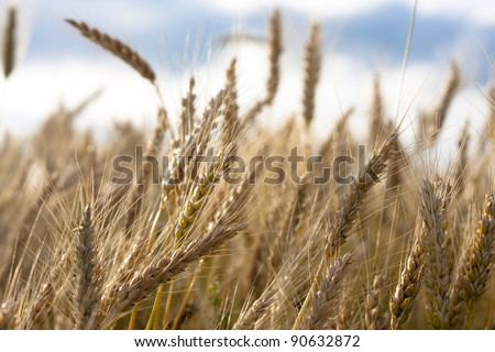Field of ears of wheat,selective focus - stock photo
