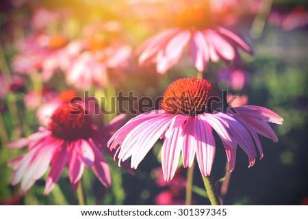 Field of echinacea flowers and sunshine - stock photo