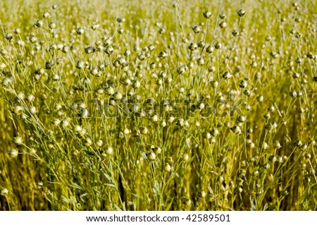 field of flax seeds - stock photo