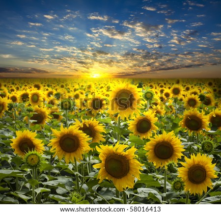 field of flowerings sunflowers on a background beautiful sunset - stock photo