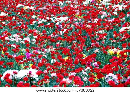 Field of flowers. - stock photo