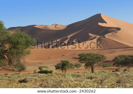 Field of Flowers in the Dunes, Sossusvlei, Namibia - stock photo
