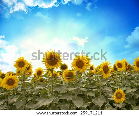 Field of flowers of sunflowers  - stock photo