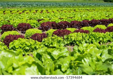 field of fresh and tasty salad/lettuce plantation - stock photo