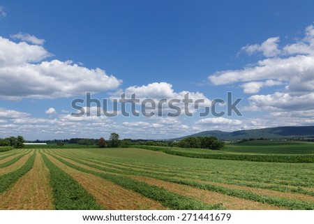 Field of freshly mown alfalfa hay on a beautiful summer day. - stock photo