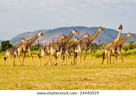 Field of giraffes in Africa.