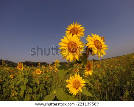 Field of Golden Sunflowers.Golden sunflowers against the clear sky. - stock photo