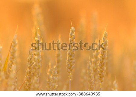 field of golden wheat and blue sky, agricultural field - stock photo