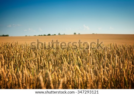Field of golden wheat, Europa - stock photo