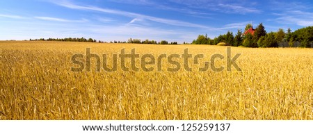 Field of golden wheat under blue sky