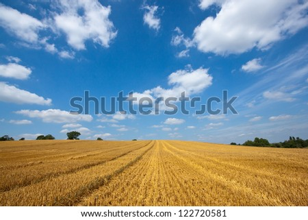 Field of golden wheat with tractor tracks against a blue sky with white clouds - stock photo