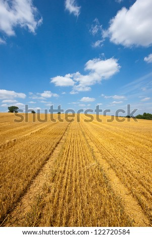 Field of golden wheat with tractor tracks against a blue sky with white clouds