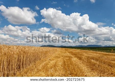 Field of grain under cloudy sky - stock photo