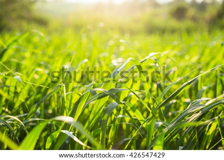field of grass during sunset,Green grass field,Blurred of wind,Green grass on morning sunrise - stock photo