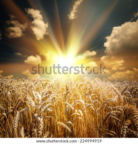 field of grass. meadow wheat under sky  backgrounds - stock photo