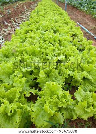 Field of green fresh lettuce growing at a farm - stock photo