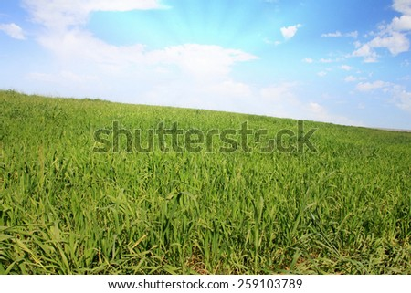 Field of green grass and bright sunset