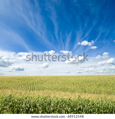 field of green maize under blue cloudy sky - stock photo