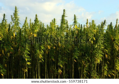 Field of green medial cannabis against the sky.