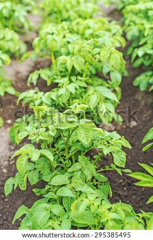 Field of green potato bushes. - stock photo