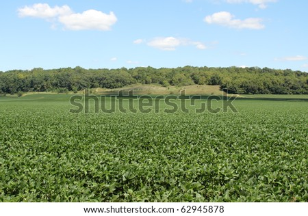 Field of green soybeans and a blue sky