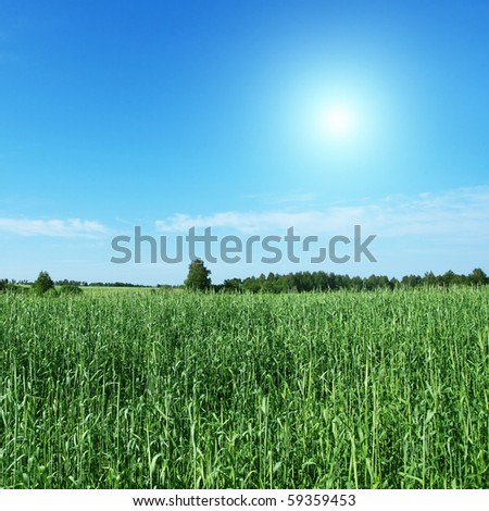 Field of green wheat and blue sky with sun. - stock photo