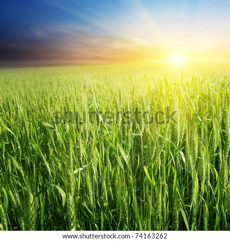 Field of green wheat and colorful sunset. - stock photo