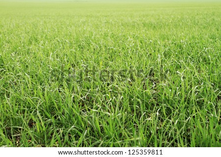 Field of green wheat grass background - stock photo
