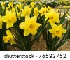 field of growing beautiful narcissus flowers - stock photo