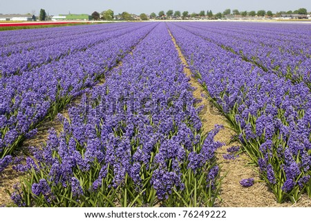 field of hyacinths - stock photo