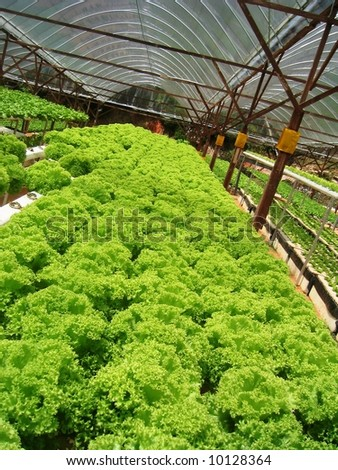field of hydroponically lettuces - stock photo