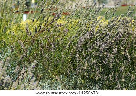 Field of Lavander plant with flowers - stock photo