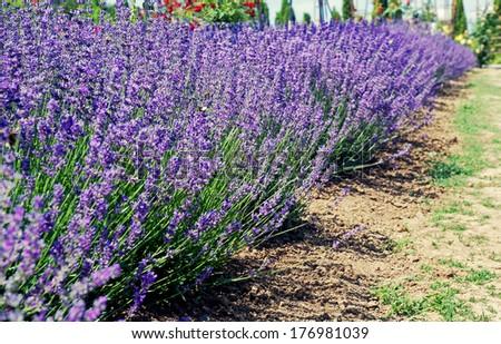 Field of lavender, arboretum, Slovakia - stock photo
