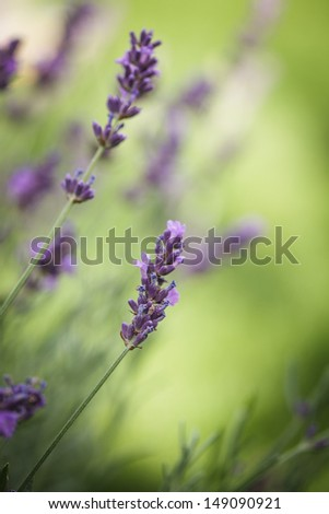 Field of lavender flower closeup on blurred background - stock photo