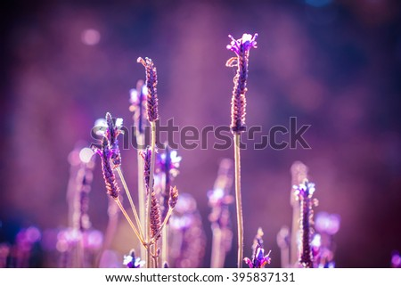 Field of Lavender flowers. lavender flowers background. - stock photo