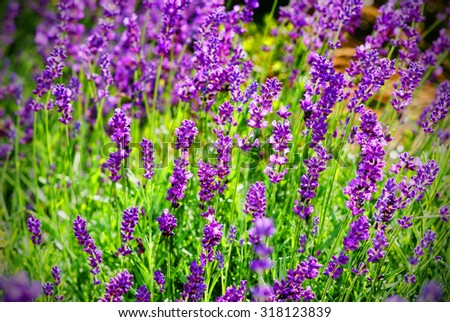 Field of lavender in the sunlight