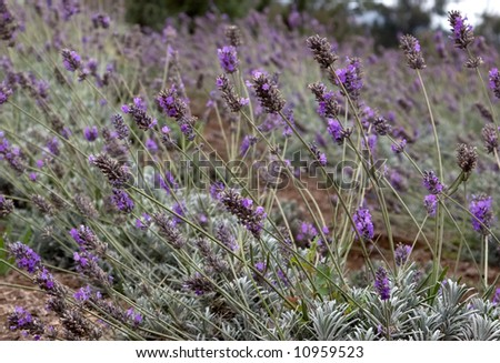 Field of lavenders blowing in the wind on a hillside - stock photo