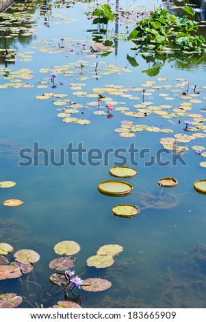 Field of Lily Pads with Flowers on a Calm Pond  - stock photo
