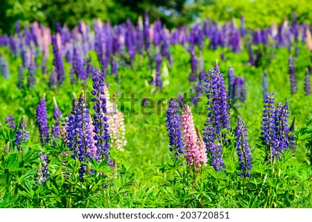 Field of lupins, with lupin in the foreground and background - stock photo