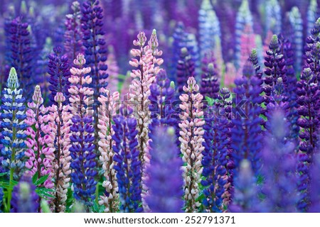 Field of Lupinus, commonly known as lupin or lupine - stock photo